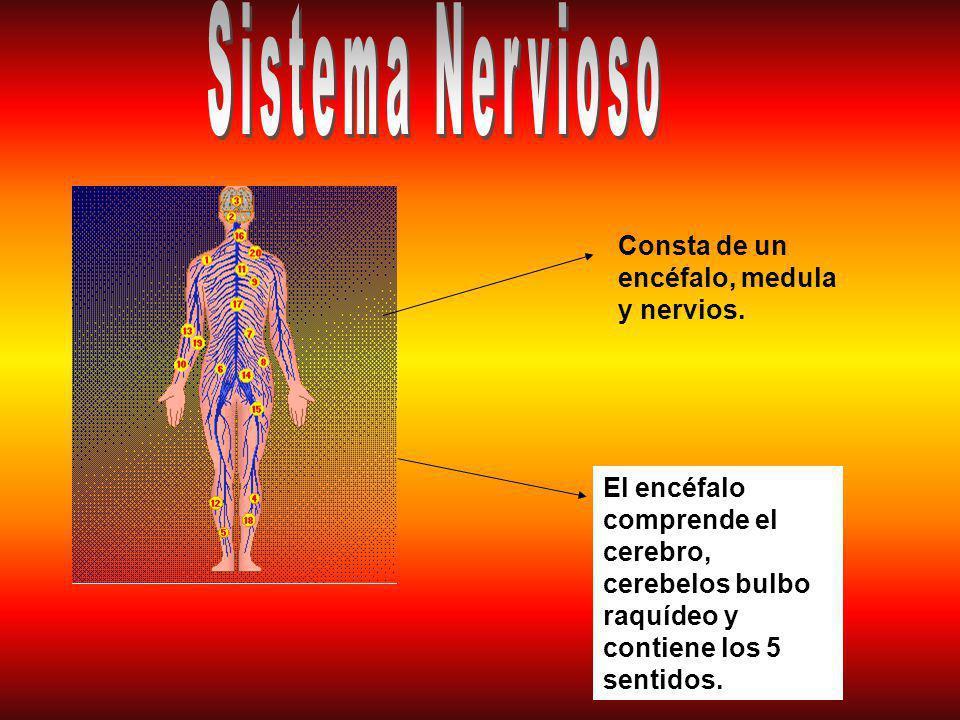 Sistema Nervioso Consta de un encéfalo, medula y nervios.