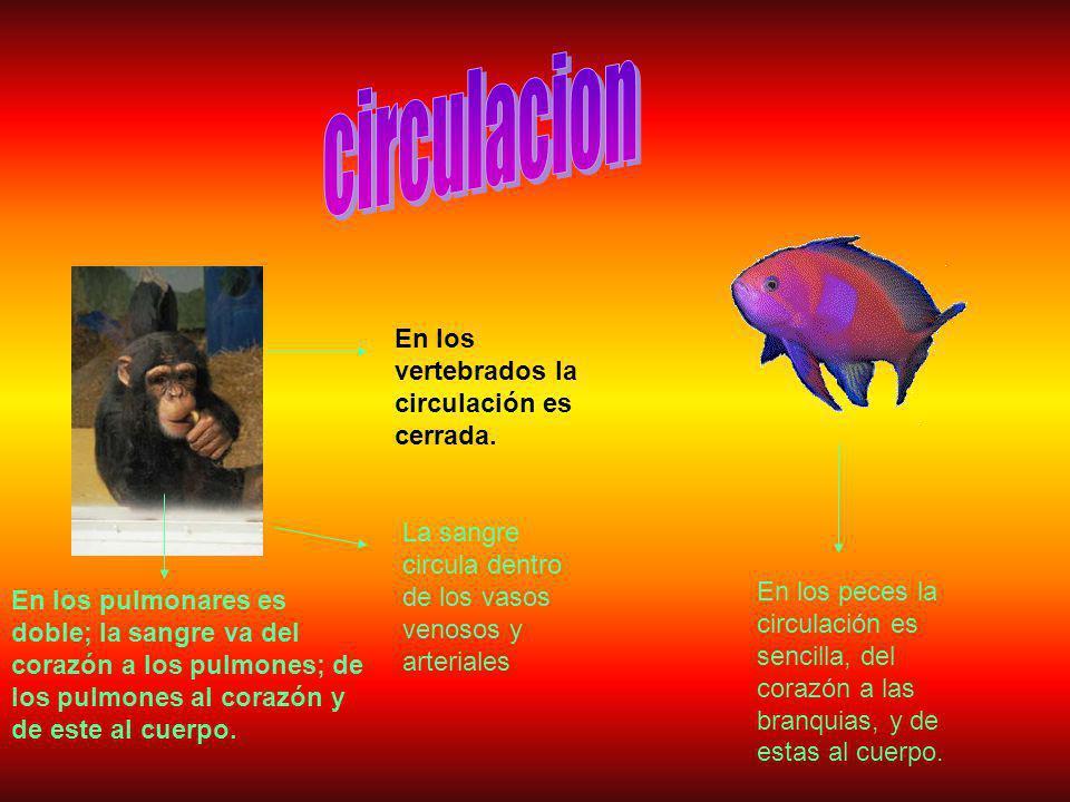 circulacion En los vertebrados la circulación es cerrada.