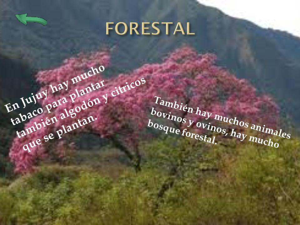 FORESTAL En Jujuy hay mucho tabaco para plantar también algodón y citricos que se plantan.