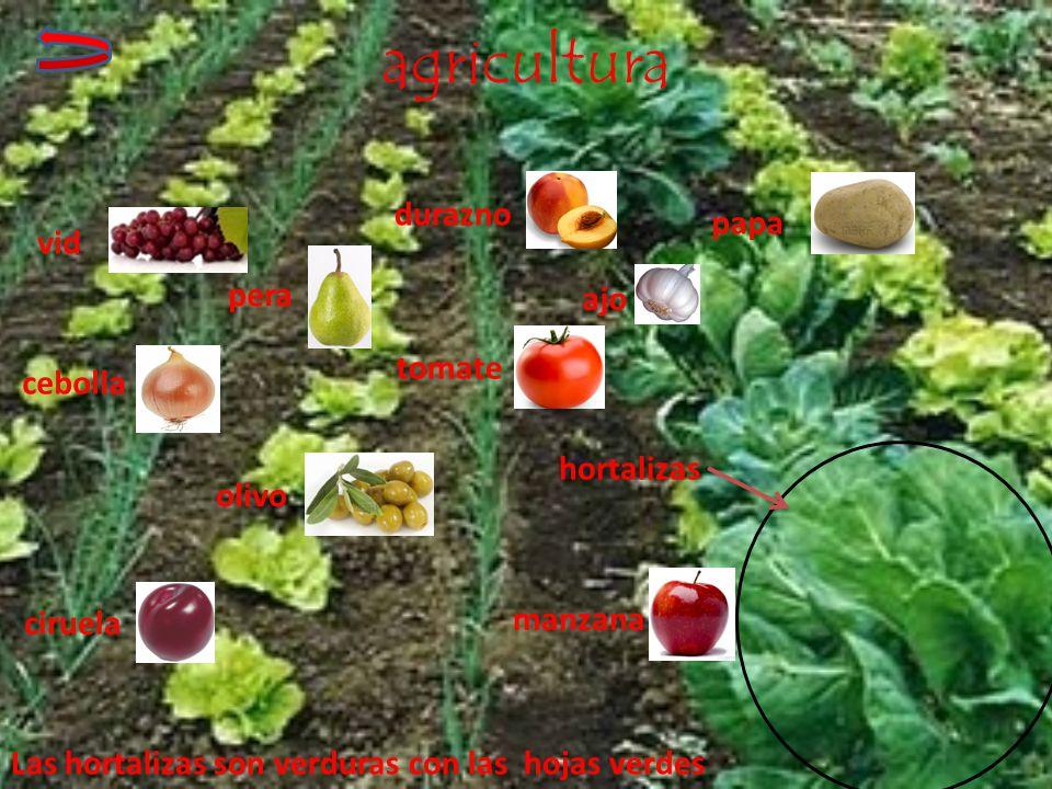 agricultura durazno papa vid pera ajo tomate cebolla hortalizas olivo