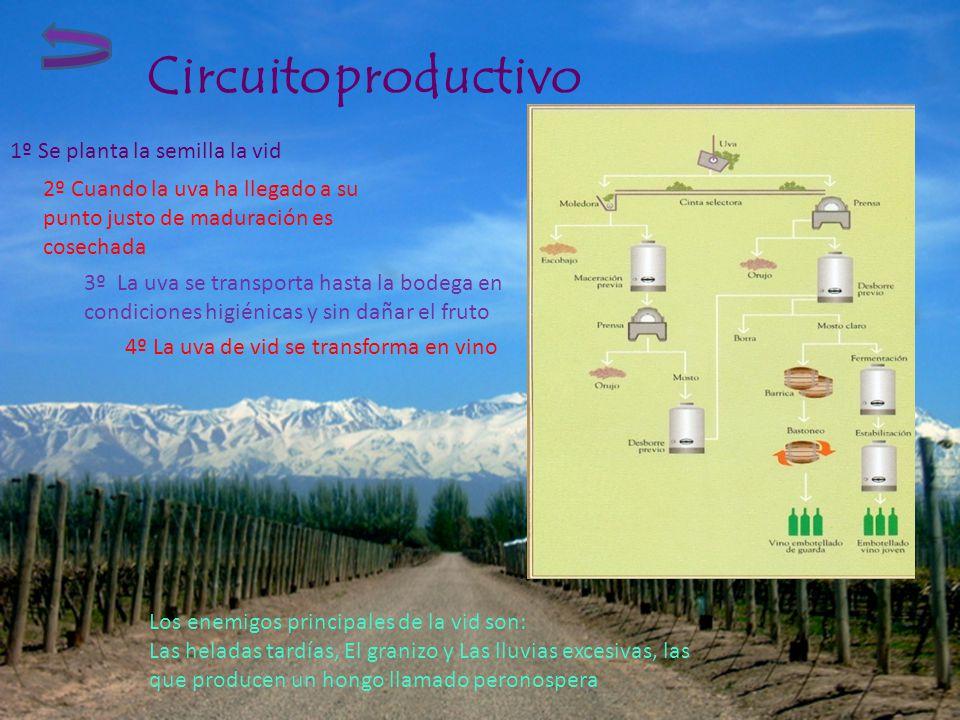 Circuito productivo 1º Se planta la semilla la vid