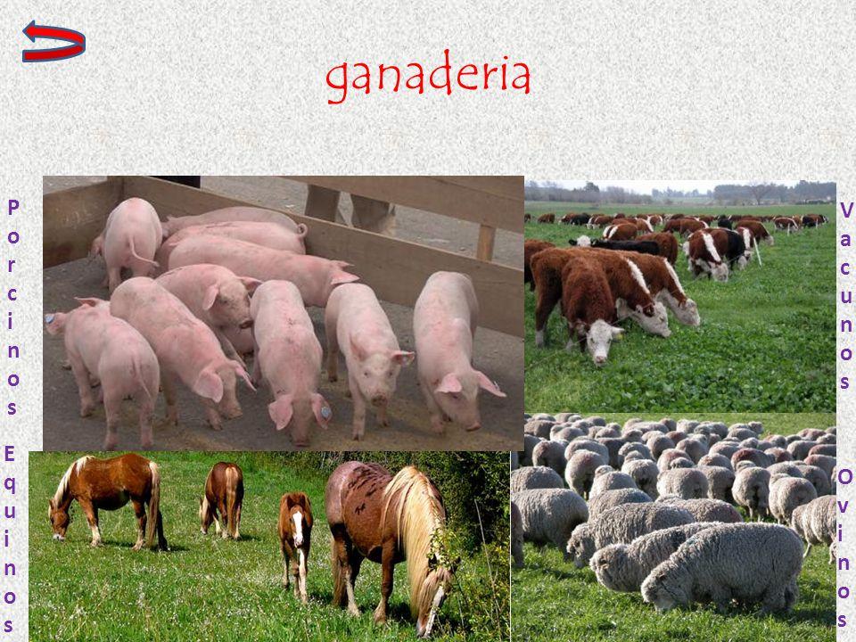 ganaderia Porcinos Vacunos Equinos Ovinos