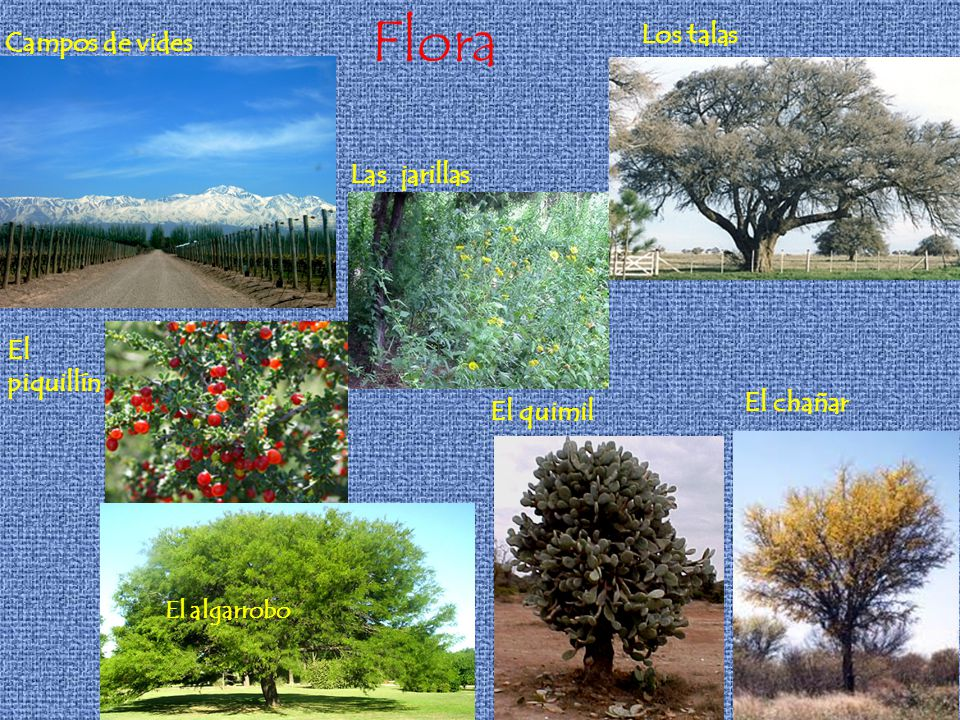 Flora Los talas Campos de vides Las jarillas El piquillín El chañar