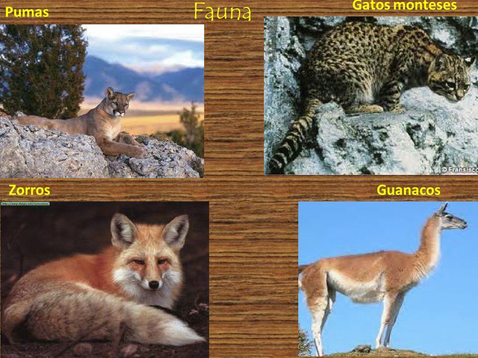 Fauna Gatos monteses Pumas Zorros Guanacos