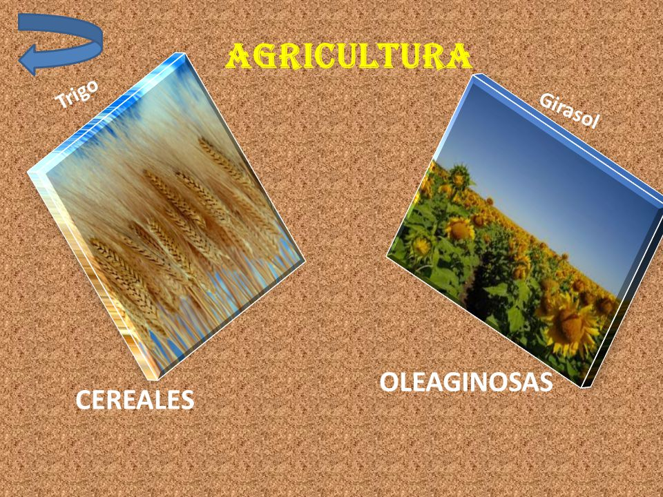 AGRICULTURa Trigo Girasol OLEAGINOSAS CEREALES