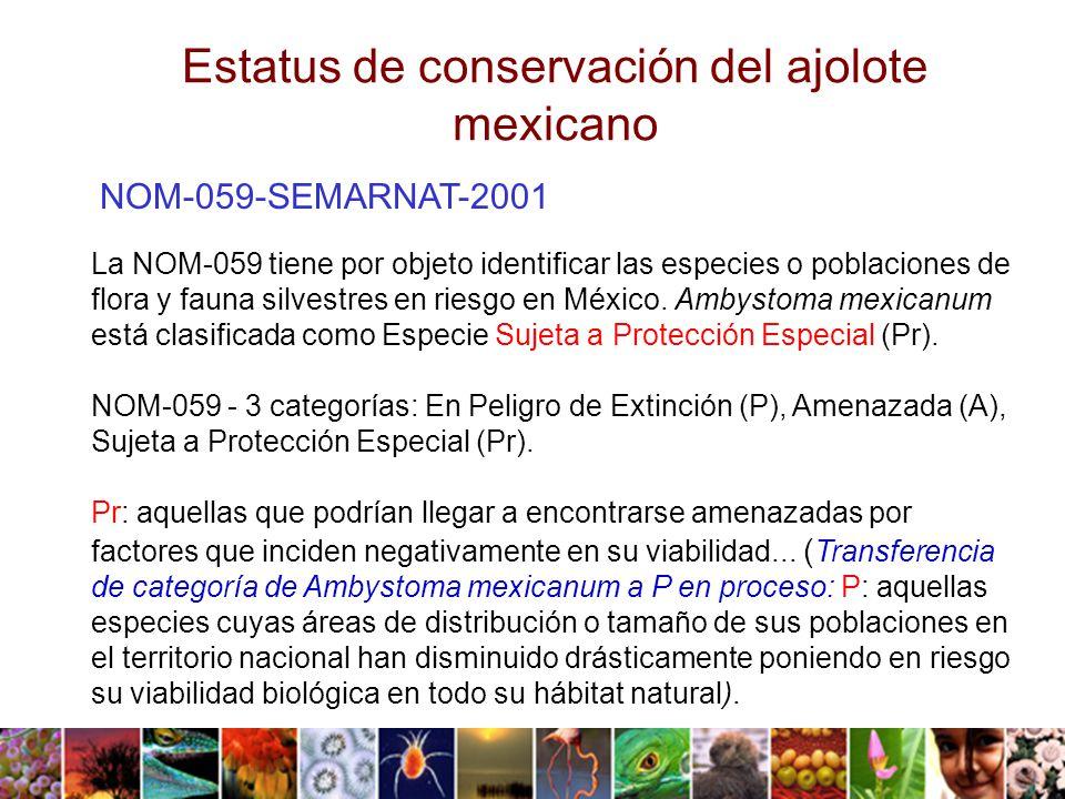 Estatus de conservación del ajolote mexicano