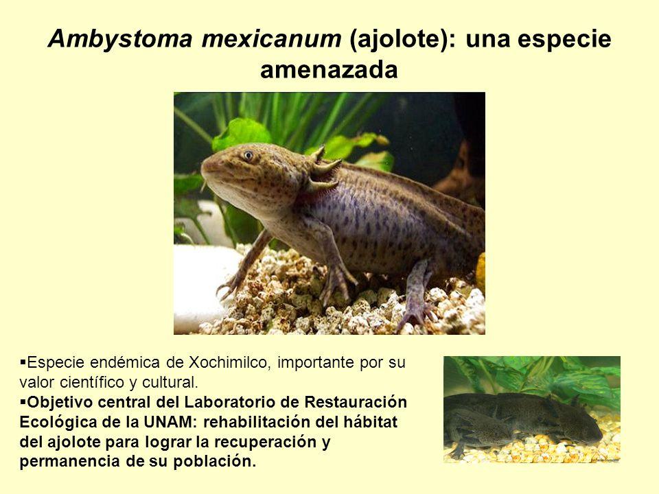 Ambystoma mexicanum (ajolote): una especie amenazada