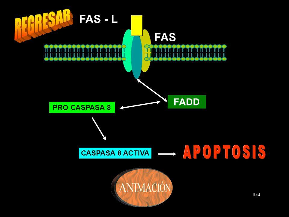 REGRESAR APOPTOSIS FAS - L FAS FADD PRO CASPASA 8 CASPASA 8 ACTIVA