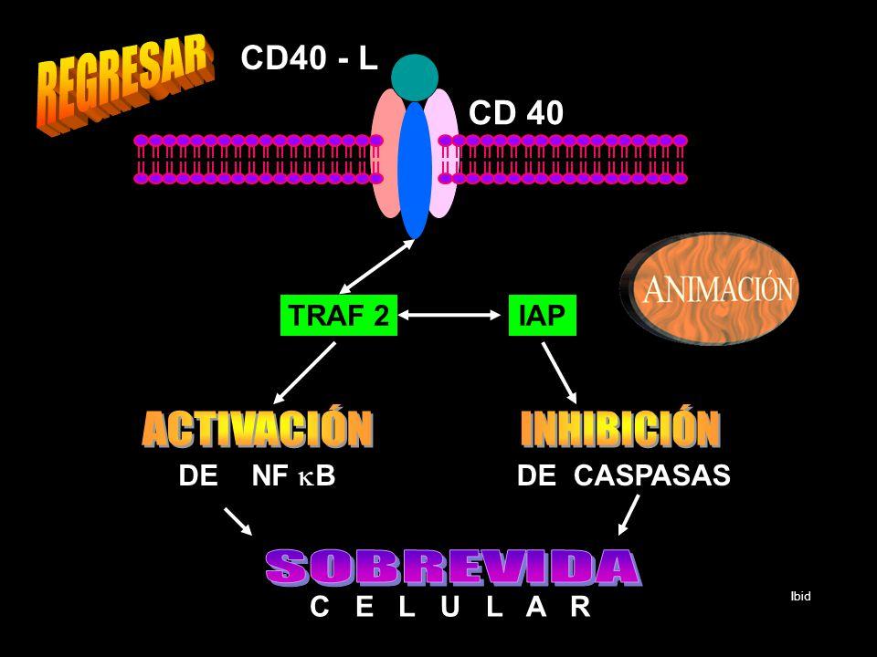 REGRESAR ACTIVACIÓN INHIBICIÓN SOBREVIDA CD40 - L CD 40 TRAF 2 IAP