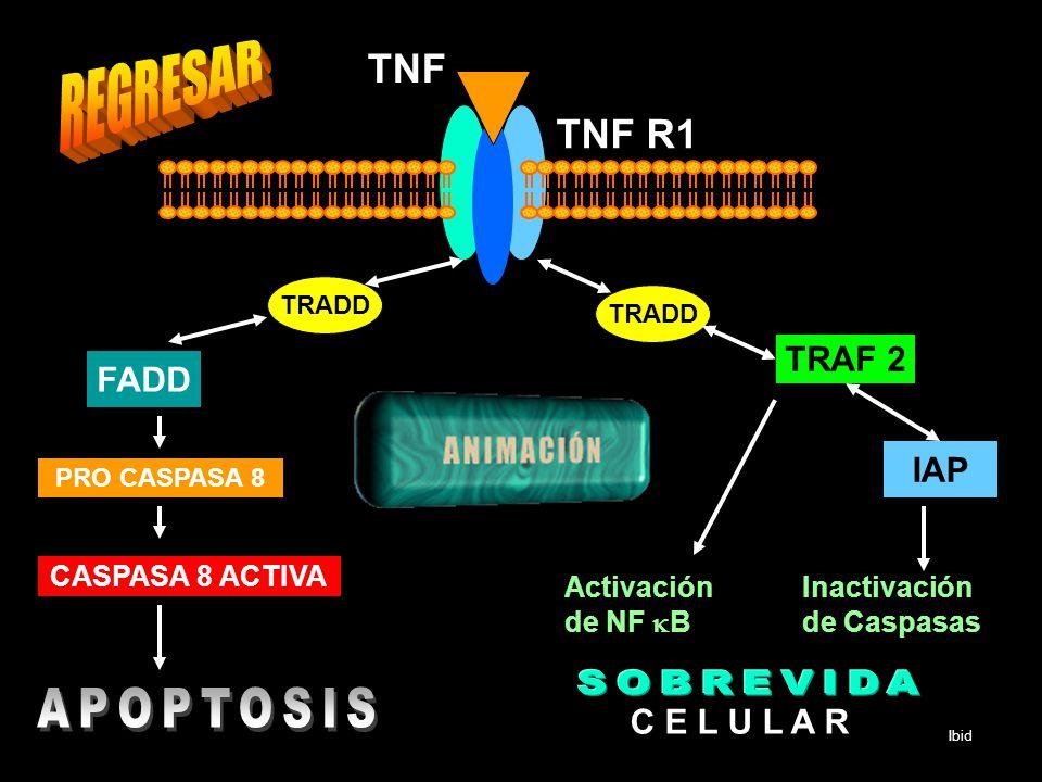 REGRESAR SOBREVIDA APOPTOSIS TNF TNF R1 TRAF 2 FADD IAP C E L U L A R