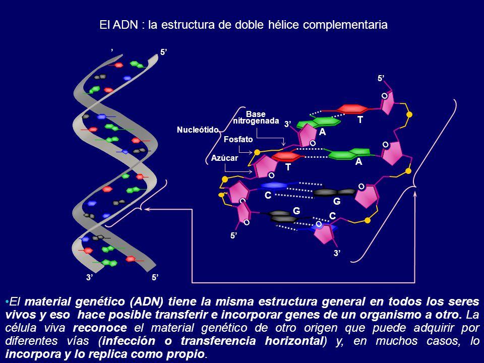 El ADN : la estructura de doble hélice complementaria