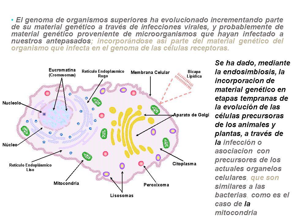 El genoma de organismos superiores ha evolucionado incrementando parte de su material genético a través de infecciones virales, y probablemente de material genético proveniente de microorganismos que hayan infectado a nuestros antepasados; incorporándose así parte del material genético del organismo que infecta en el genoma de las células receptoras.