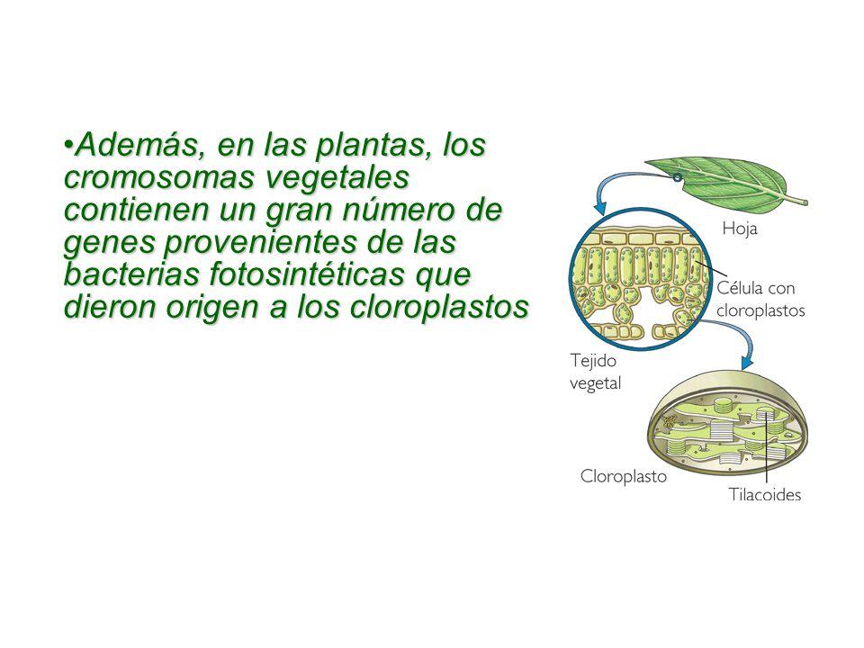 Además, en las plantas, los cromosomas vegetales contienen un gran número de genes provenientes de las bacterias fotosintéticas que dieron origen a los cloroplastos