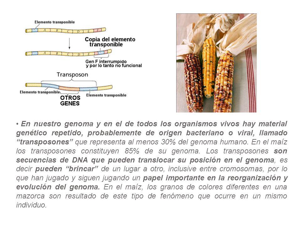 En nuestro genoma y en el de todos los organismos vivos hay material genético repetido, probablemente de origen bacteriano o viral, llamado transposones que representa al menos 30% del genoma humano. En el maíz los transposones constituyen 85% de su genoma. Los transposones son secuencias de DNA que pueden translocar su posición en el genoma, es decir pueden brincar de un lugar a otro, inclusive entre cromosomas, por lo que han jugado y siguen jugando un papel importante en la reorganización y evolución del genoma. En el maíz, los granos de colores diferentes en una mazorca son resultado de este tipo de fenómeno que ocurre en un mismo individuo.
