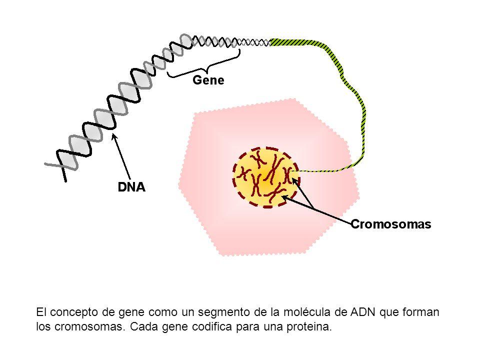 El concepto de gene como un segmento de la molécula de ADN que forman los cromosomas.