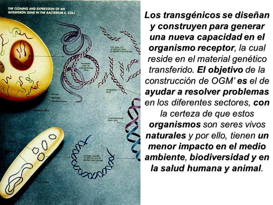 Los transgénicos se diseñan y construyen para generar una nueva capacidad en el organismo receptor, la cual reside en el material genético transferido.