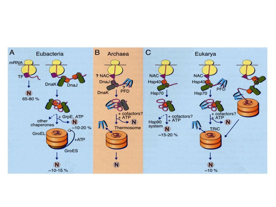 Las proteínas que no se pliegan espontáneamente lo hacen con la ayuda de proteínas especializadas. Estas son las chaperonas moleculares que interactúan con polipéptidos parcialmente o incorrectamente plegados, facilitando el plegamiento adecuado o bien proveyendo microambientes en los cuales el plegamiento puede llevarse a cabo. Dos clases de chaperonas moleculares han sido descritas, la primera es la familia de proteínas llamadas Hsp70. Esta proteína se une a polipéptidos mal plegados ricos en residuos hidrofóbicos, con lo que se impide plegamiento inadecuado. Hsp70 protege proteínas que han sido desnaturalizadas por calor, o péptidos que están siendo sintetizados, también mantiene no replegados péptidos que tienen que ser traslocados a través de membrana. Hsp40 es otra chaperona que participa con Hsp70 . Los equivalentes bacterianos de estas chaperonas son DnaJ y DnaK