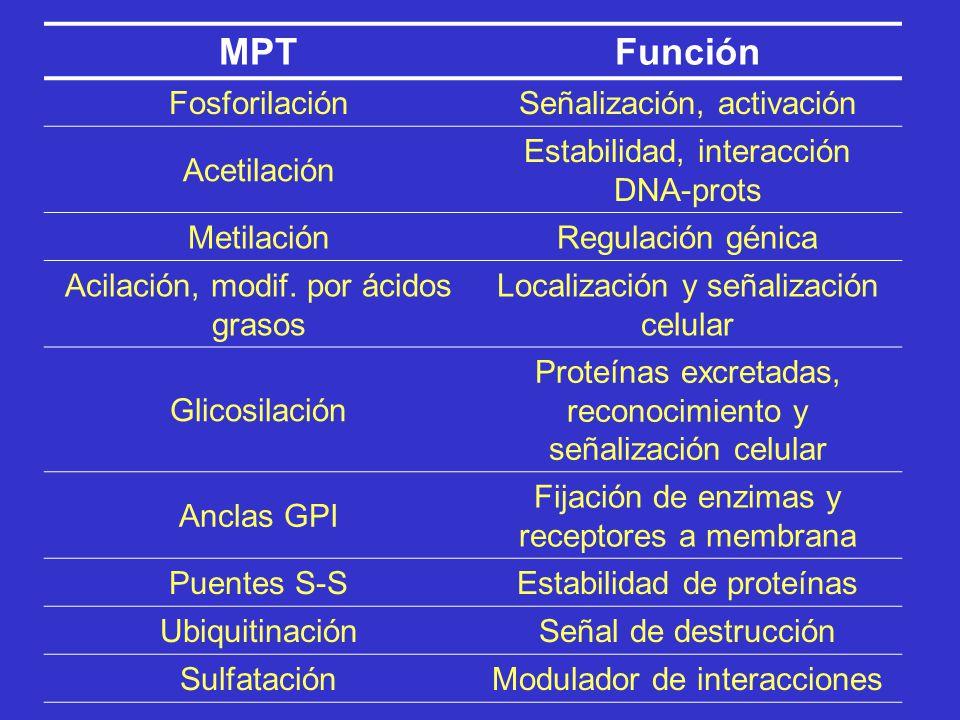 MPT Función Fosforilación Señalización, activación Acetilación