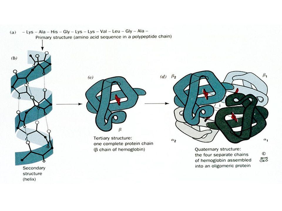 La existencia de las proteínas comienza como una cadena lineal de aa, enseguida y durante la síntesis, estos polipéptidos deben plegarse para adoptar sus configuraciones nativas.