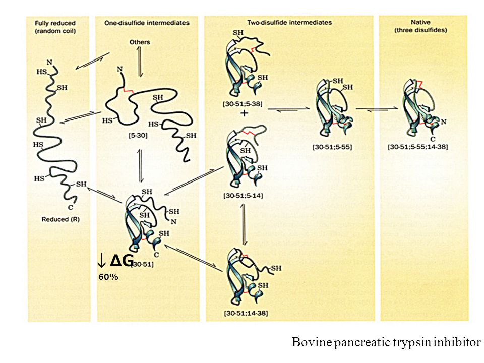 ↓ΔG Bovine pancreatic trypsin inhibitor