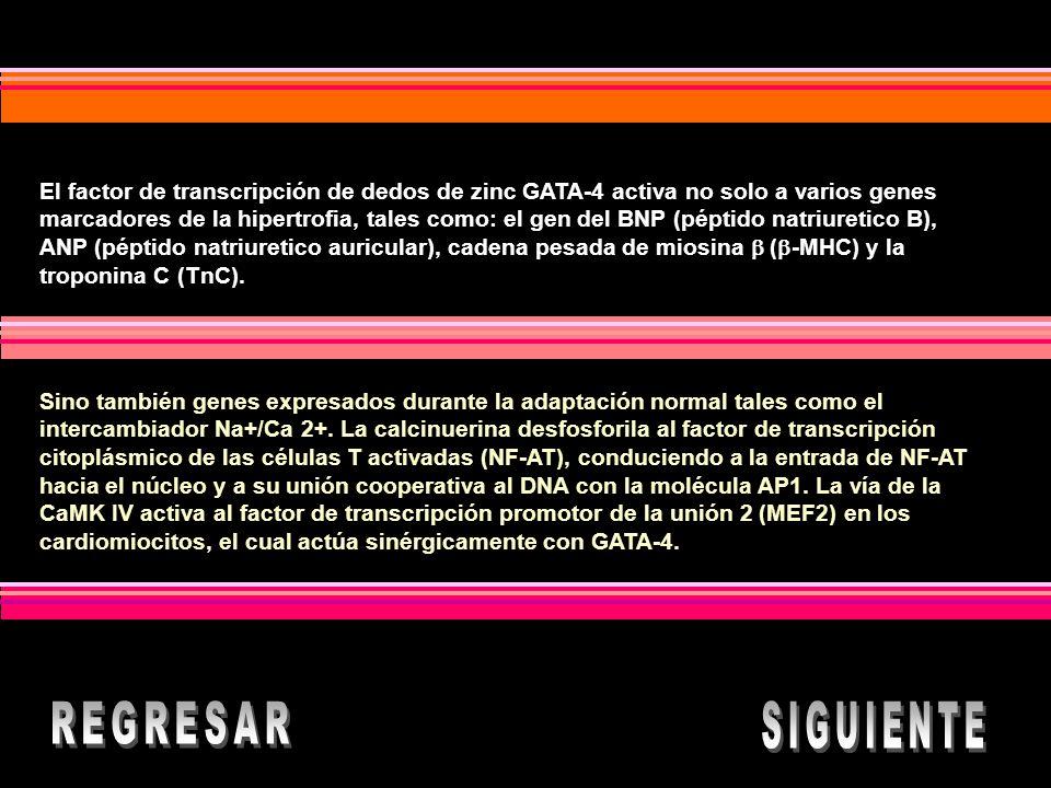 El factor de transcripción de dedos de zinc GATA-4 activa no solo a varios genes marcadores de la hipertrofia, tales como: el gen del BNP (péptido natriuretico B), ANP (péptido natriuretico auricular), cadena pesada de miosina  (-MHC) y la troponina C (TnC).
