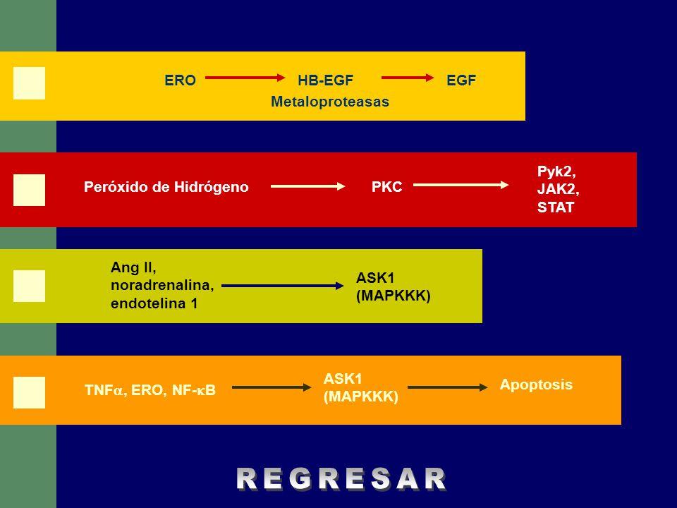 REGRESAR ERO HB-EGF EGF Metaloproteasas Pyk2, JAK2, STAT