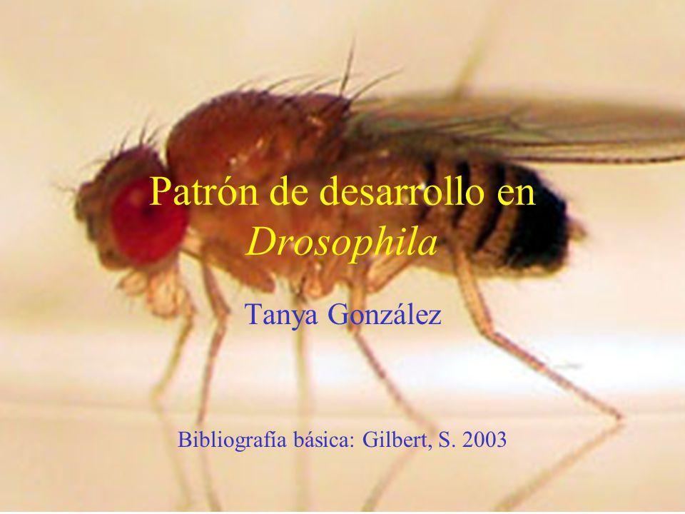Patrón de desarrollo en Drosophila