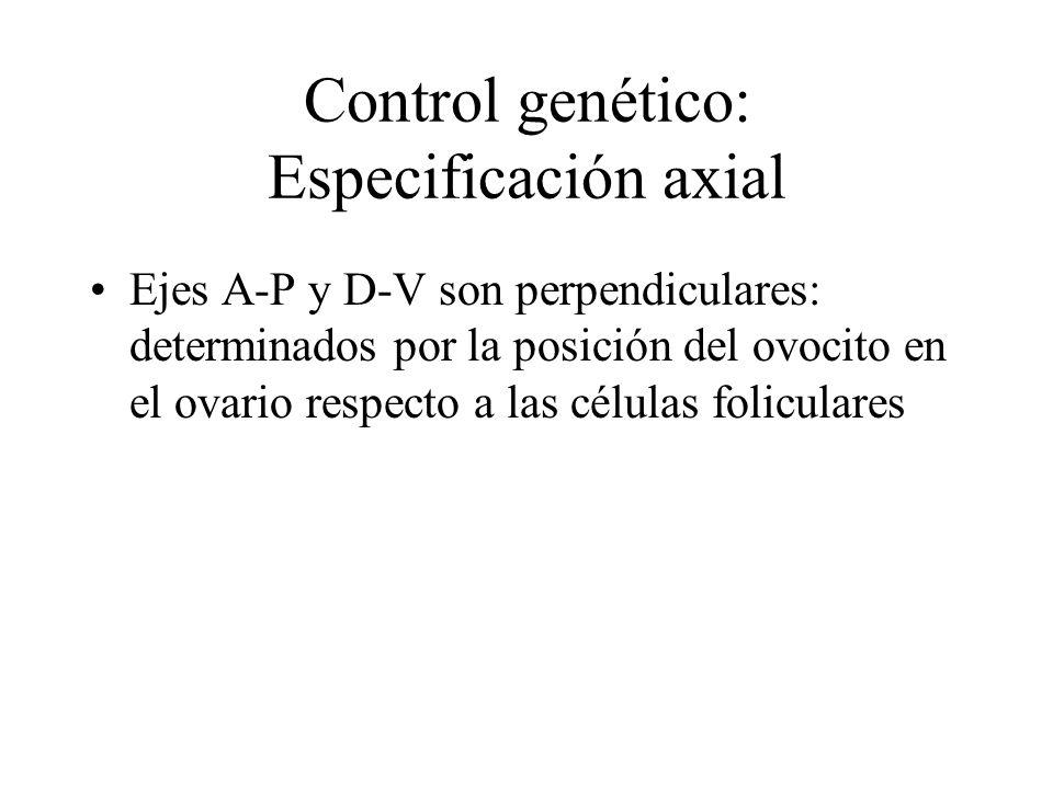 Control genético: Especificación axial