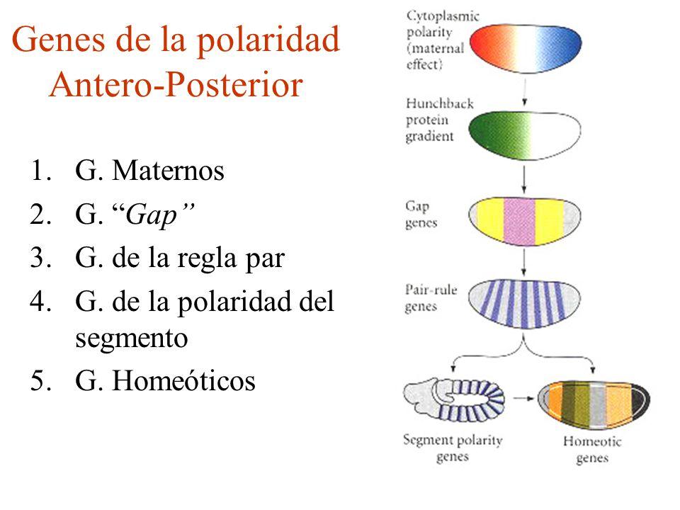Genes de la polaridad Antero-Posterior