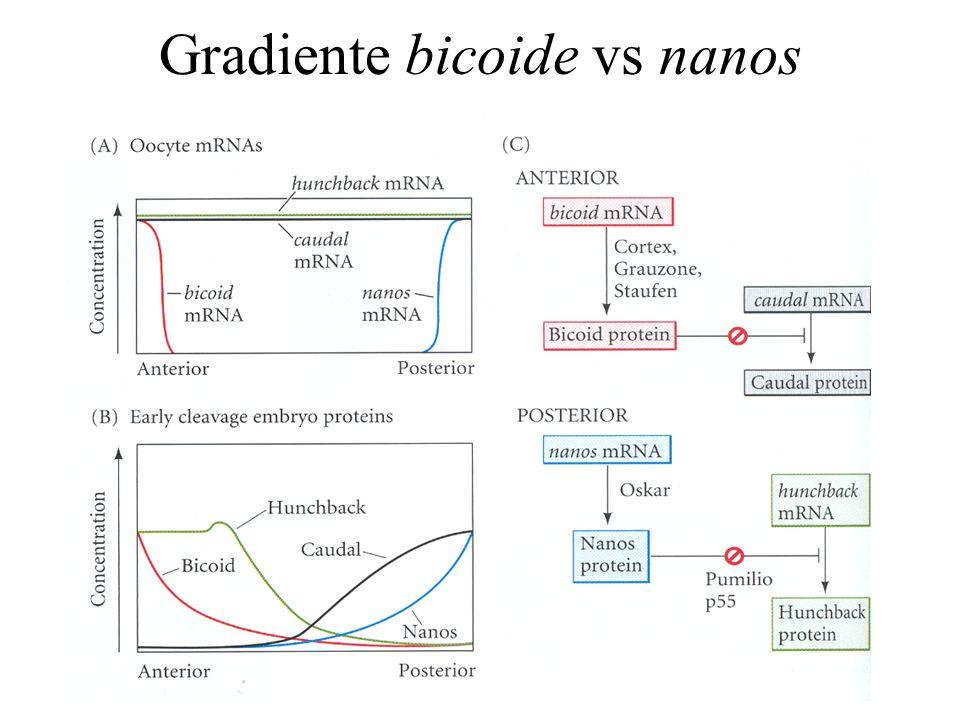 Gradiente bicoide vs nanos