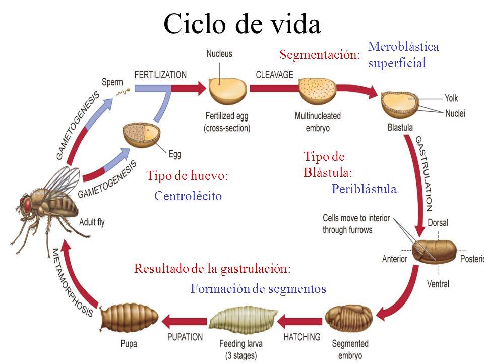 Ciclo de vida Meroblástica superficial Segmentación: Tipo de Blástula: