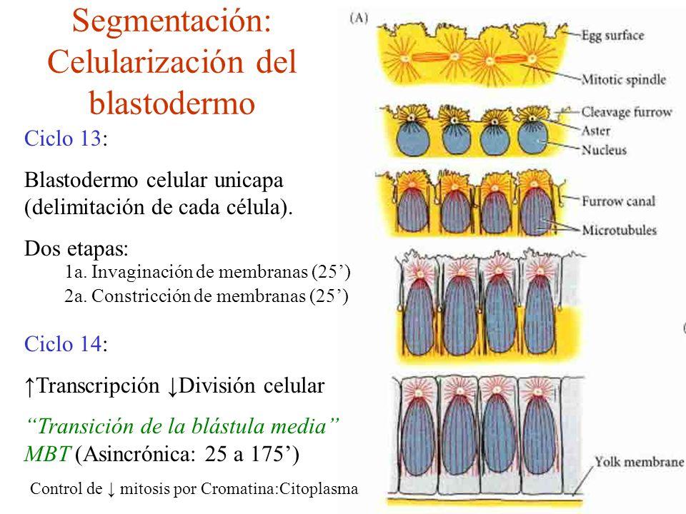Segmentación: Celularización del blastodermo