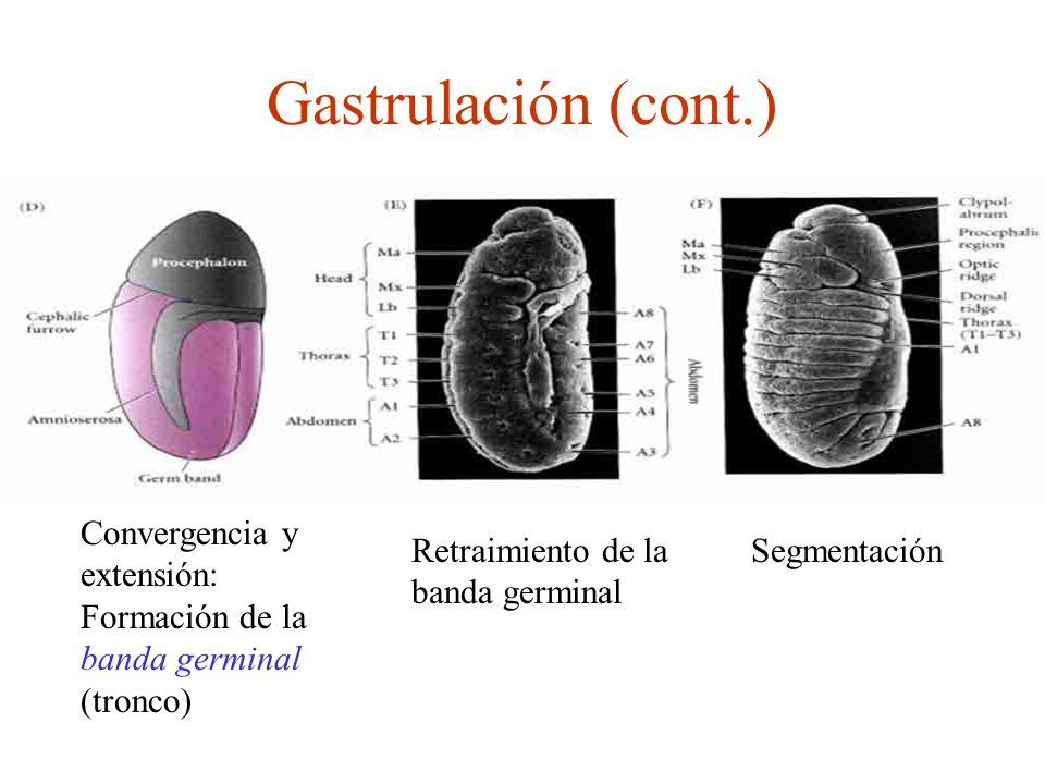 Gastrulación (cont.) Convergencia y extensión: Formación de la banda germinal (tronco) Retraimiento de la banda germinal.