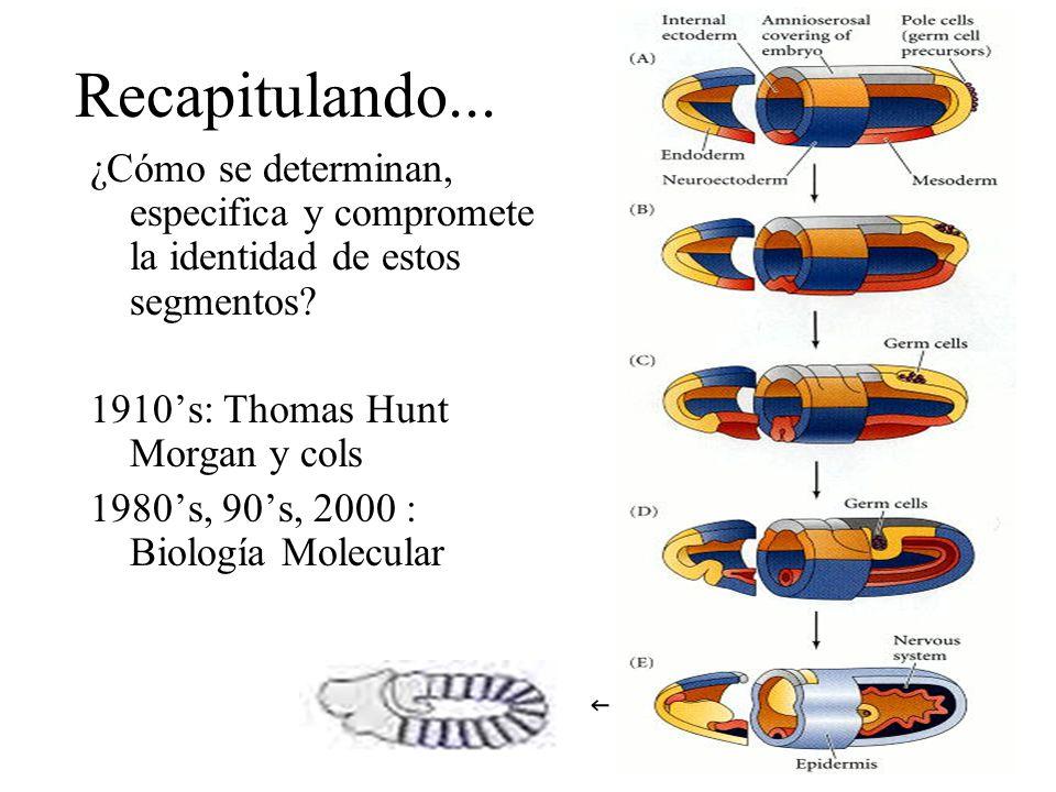 Recapitulando... ¿Cómo se determinan, especifica y compromete la identidad de estos segmentos 1910's: Thomas Hunt Morgan y cols.