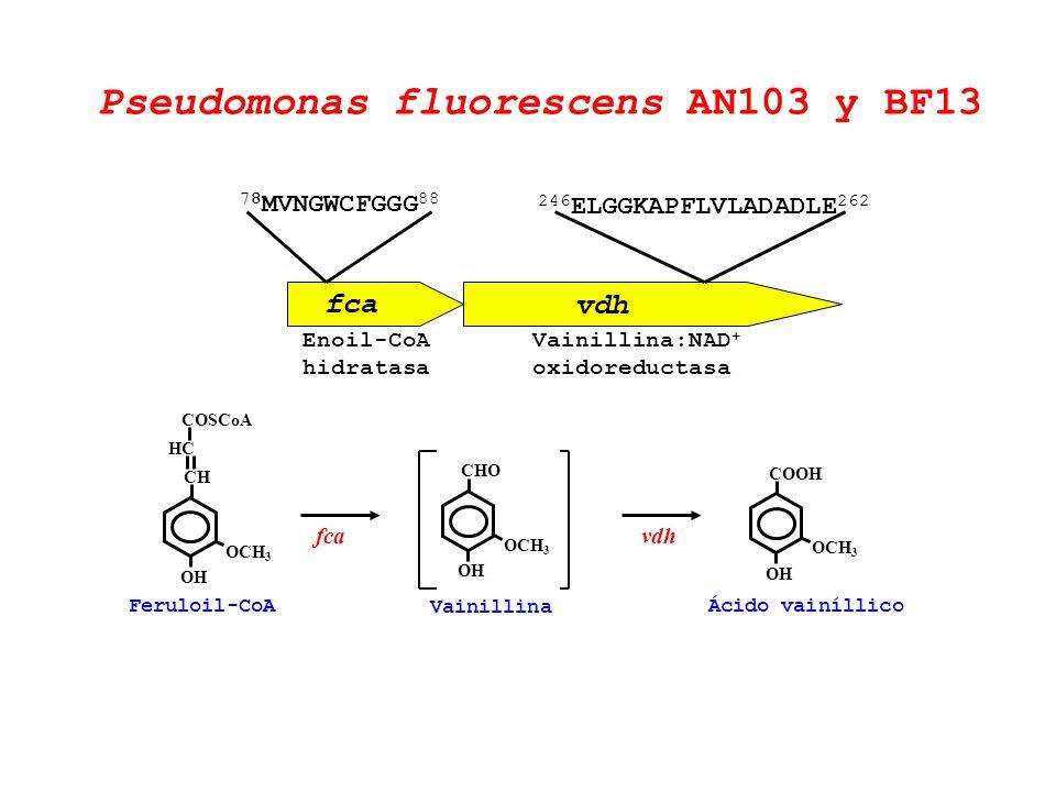 Pseudomonas fluorescens AN103 y BF13