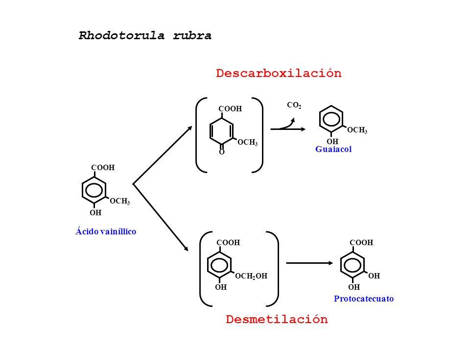 Rhodotorula rubra Descarboxilación Desmetilación Guaiacol