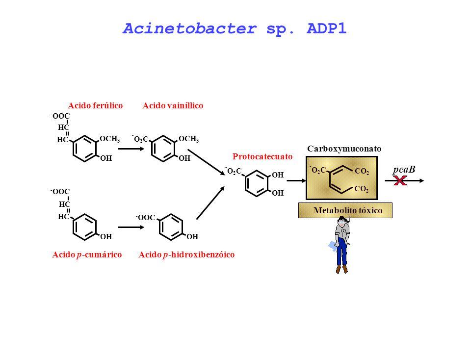 Acinetobacter sp. ADP1 pcaB Acido ferúlico Acido vainíllico