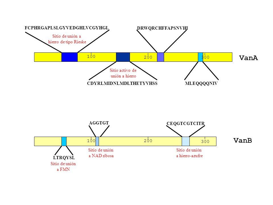 VanA VanB FCPHRGAPLSLGYVEDGHLVCGYHGL DRWQRCHFFAPSNVHI Sitio de unión a