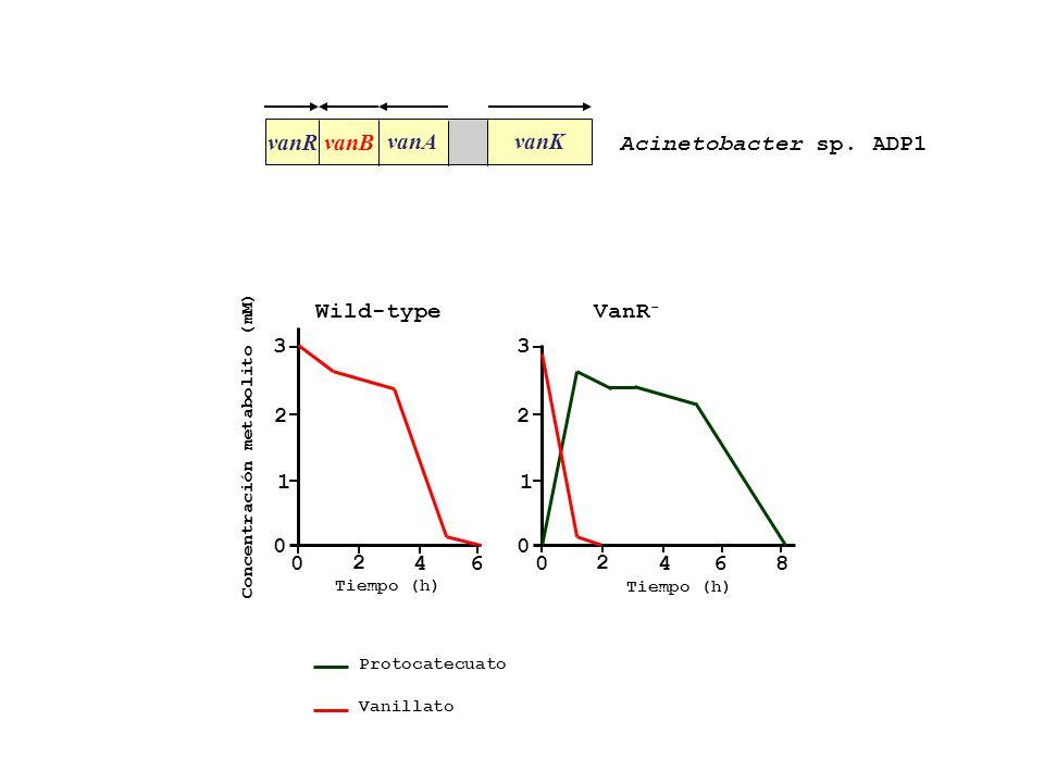 vanR vanB vanA vanK Acinetobacter sp. ADP1 3 2 1 4 6 8 Wild-type VanR-