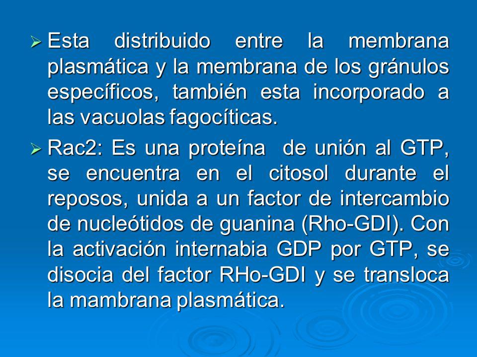 Esta distribuido entre la membrana plasmática y la membrana de los gránulos específicos, también esta incorporado a las vacuolas fagocíticas.
