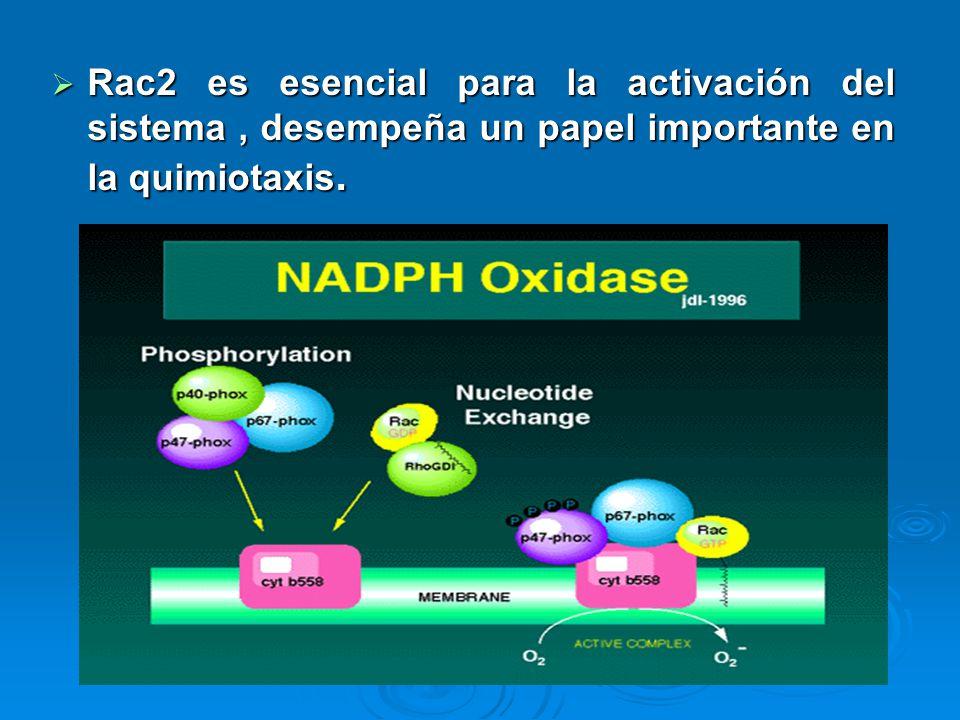 Rac2 es esencial para la activación del sistema , desempeña un papel importante en la quimiotaxis.