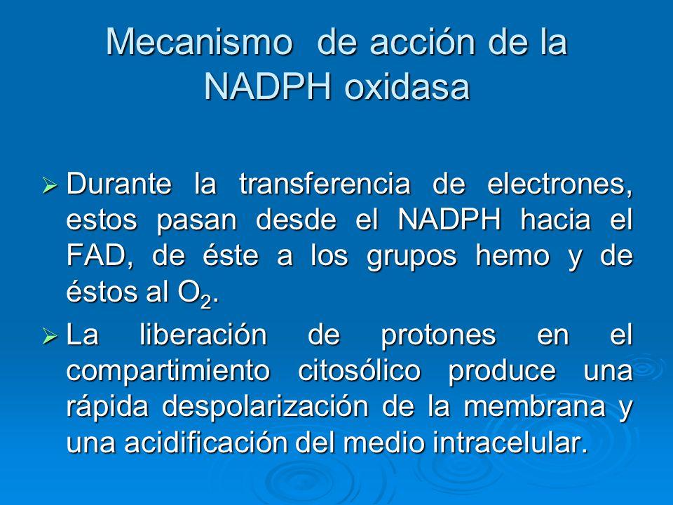 Mecanismo de acción de la NADPH oxidasa