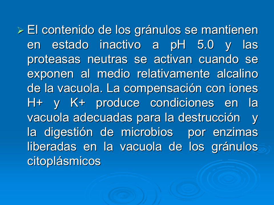 El contenido de los gránulos se mantienen en estado inactivo a pH 5