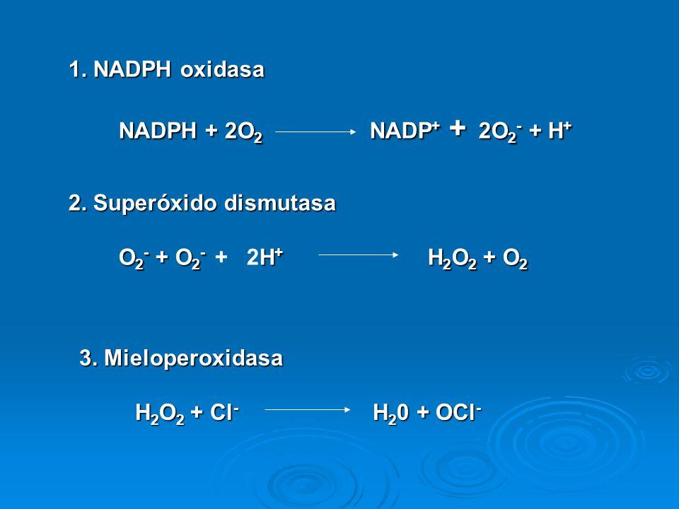 1. NADPH oxidasa NADPH + 2O2 NADP+ + 2O2- + H+ 2. Superóxido dismutasa. O2- + O2- + 2H+ H2O2 + O2.