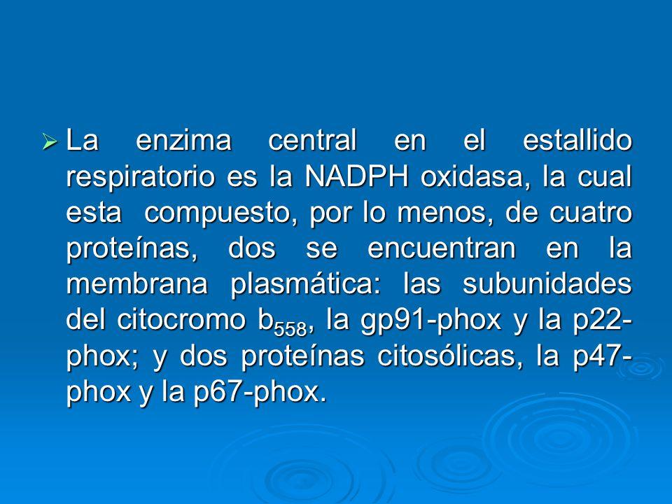 La enzima central en el estallido respiratorio es la NADPH oxidasa, la cual esta compuesto, por lo menos, de cuatro proteínas, dos se encuentran en la membrana plasmática: las subunidades del citocromo b558, la gp91-phox y la p22-phox; y dos proteínas citosólicas, la p47-phox y la p67-phox.