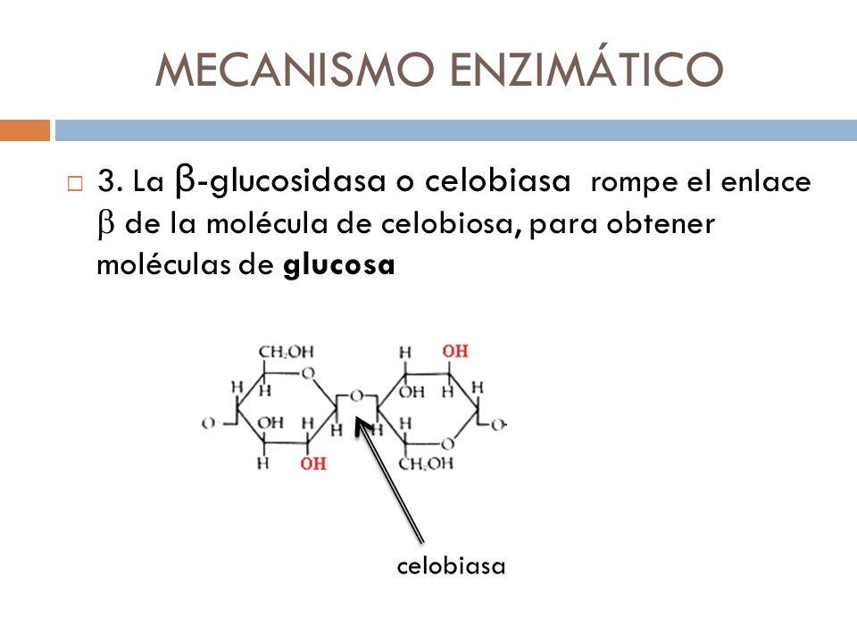 MECANISMO ENZIMÁTICO 3. La β-glucosidasa o celobiasa rompe el enlace b de la molécula de celobiosa, para obtener moléculas de glucosa.