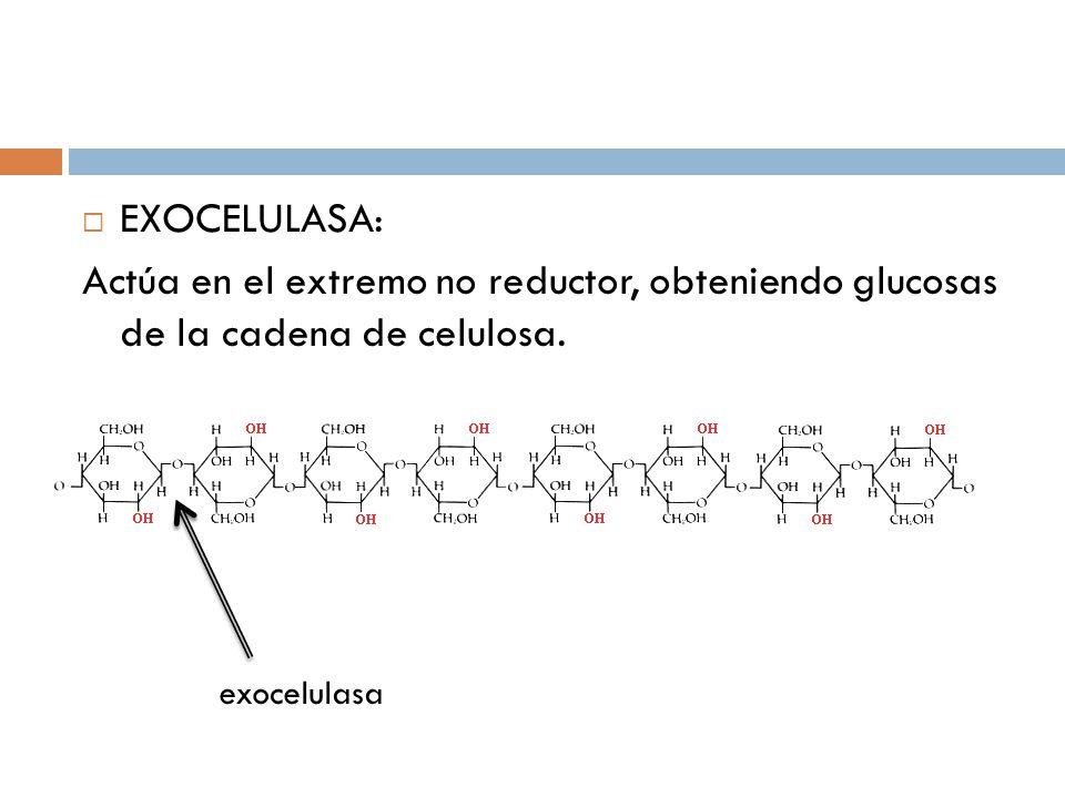 EXOCELULASA: Actúa en el extremo no reductor, obteniendo glucosas de la cadena de celulosa.