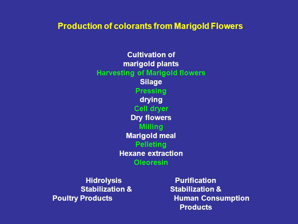 Production of colorants from Marigold Flowers