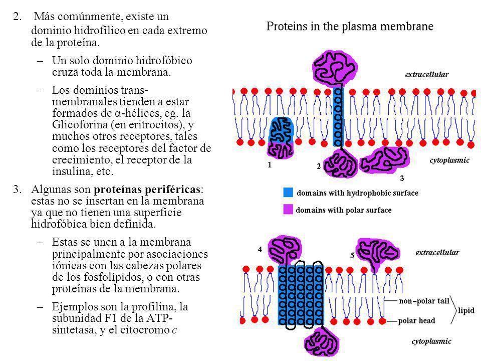 2. Más comúnmente, existe un dominio hidrofílico en cada extremo de la proteína.