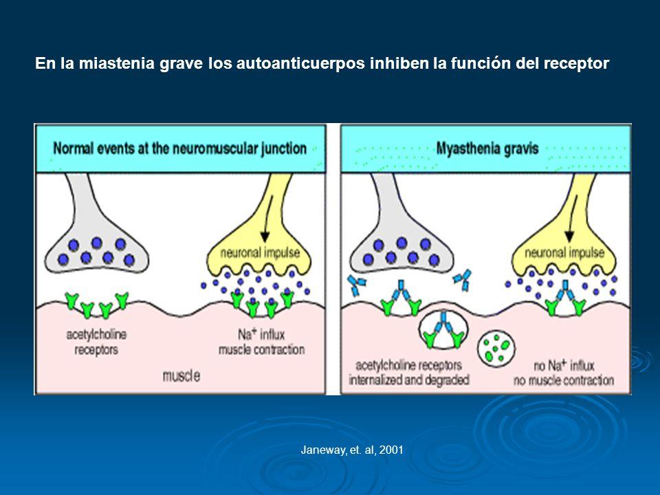 En la miastenia grave los autoanticuerpos inhiben la función del receptor